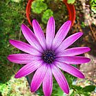 Purple Daisy by Maria  Gonzalez