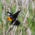 Yellow-headed Blackbird by amontanaview