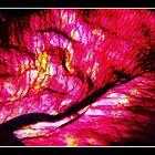 Red red rose by lupideloop