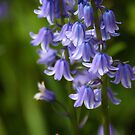 Bluebells by John Dalkin