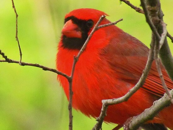 Plump Cardinal by lorilee