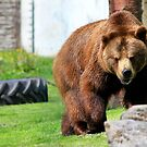 Big Brown Bear by dgscotland