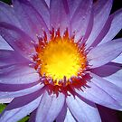 Cape Blue Water Lily by SerenaB