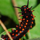 Pipevine Swallowtail Caterpillar by Ron Hannah