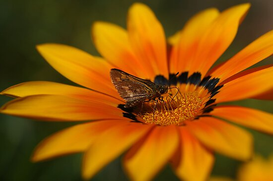 Moth on a Gazania by Clare Colins