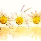 daisy by JanaBehr