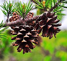 Pine Cones by joevoz