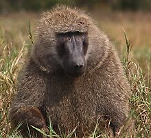 Male Olive Baboon  by Carole-Anne