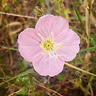 Pink Evening Primrose in Texas by Robert Kelch, M.D.