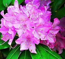 Rhododendron by joevoz