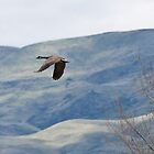 Canada Goose in Flight, Hills in Background by c painter