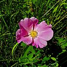Prairie Rose - Rosa arkansas by Digitalbcon