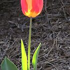 Backlit solo tulip by Rogere0829