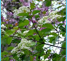 Blackhaw and Redbud Blossoms Mingle in the Morning Breeze. by TrendleEllwood