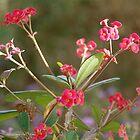 Crown of Thorns, in Bloom by SaffronDunne