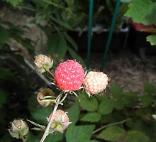 Rasberry in our garden by ack1128