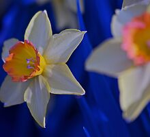 Daffodils in Bloom by ishotit4u
