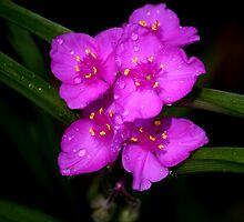 Pink Spiderwort by Brent McMurry