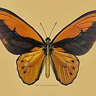 Male Orange Birdwing Butterfly by Walter Colvin