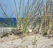 Daisy on a Sand Dune - Western Isles, Scotland by BlueMoonRose