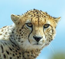 Cheetah by Mark Hughes