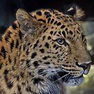 Amur Leopard by Lee Elvin