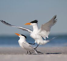 Nice Guys Finish Last - Royal Terns by Daniel Cadieux