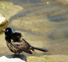 Grackle by sternbergimages