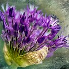 Allium Blossoms by LudaNayvelt