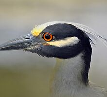 Yellow-crowned Night-Heron  by venny