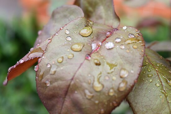 Fresh Raindrops on Leaves by JazzHodgess