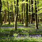 Beech Woods And Bluebells 3 by Photogothica