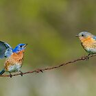 Courting Bluebirds by Daniel  Parent