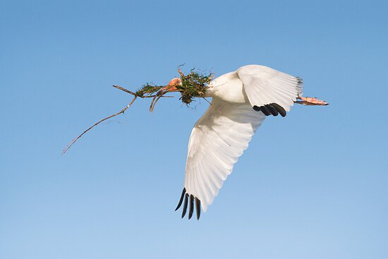 White Ibis Carrying Nesting Material. by Daniel Cadieux