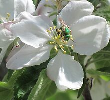Green Bee on Blossom by tompaine