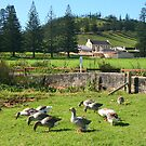 Geese at Kingston, Norfolk Island by Gail Mew