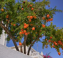 Pomegranate Tree by Tom Gomez