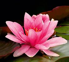 Pink Water Lily by Vac1