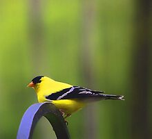 Goldfinch by T.J. Martin