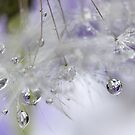 Droplets in dandelion by PhotoTamara