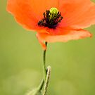Poppy 2012 8 by Falko Follert