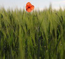 Poppy 2012 12 by Falko Follert