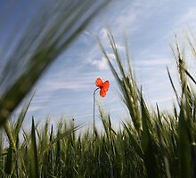 Poppy 2012 13 by Falko Follert