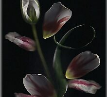 Tulip Art... by linmarie