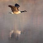 Canada Goose in flight, Papercourt Gravel Pits, Send, Woking by Craig Denford