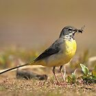 Grey Wagtail, Frensham Little Pond by Craig Denford