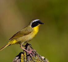 Common Yellow Throat Warbler by John Absher