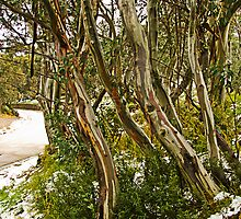 Snow Gums by Julia Harwood