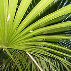 fan palm by Anne Scantlebury