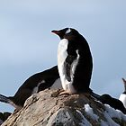 Gentoo nest by geophotographic